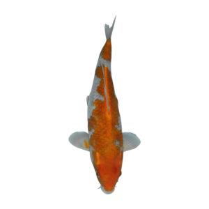fisk til havedammen koi karper goshiki shigure 1