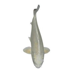 fisk til havedammen koi karper mukashi