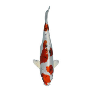fisk til havedammen koi karper yamatonishiki