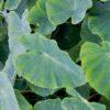 Planter til havedammen taro