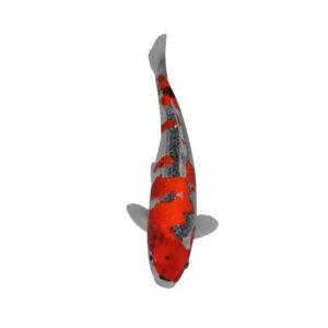 fisk til havedammen koi karpe goshiki
