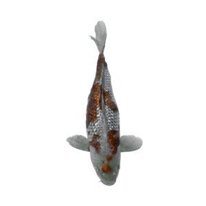 fisk til havedammen ginrin ochiba shigure