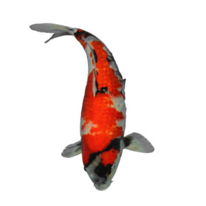 fisk til havedammen ginrin showa 1